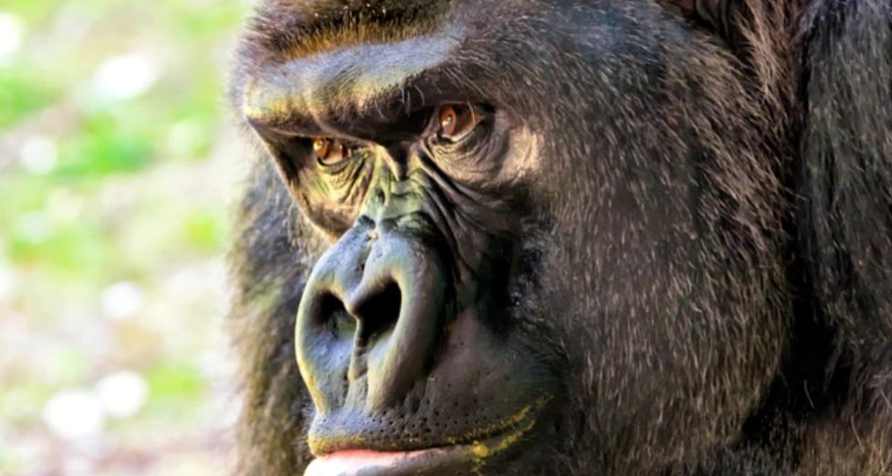 Super Smart Gorilla