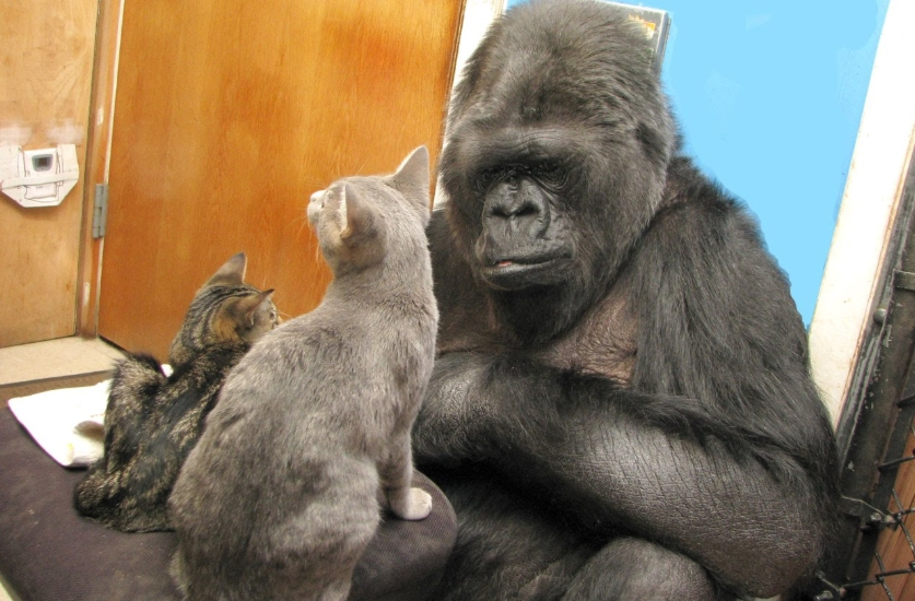 Koko The Gorilla Who Loved Cats