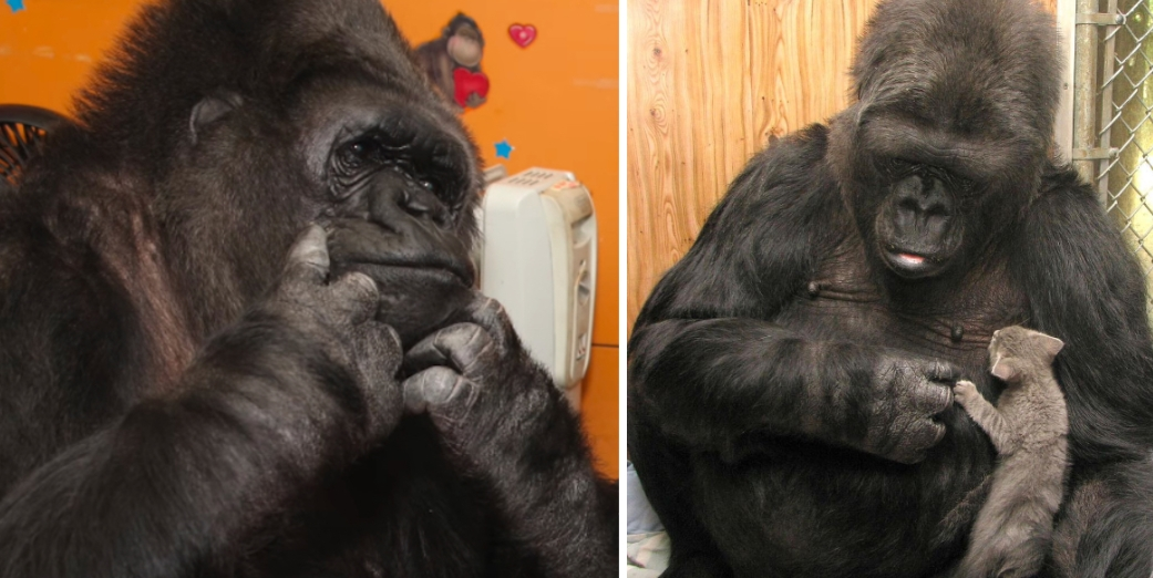 Koko Reported Dead At 46